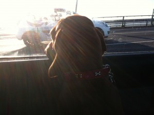 Willow excited about going over the Dartford bridge on the way to Paws in the Park!